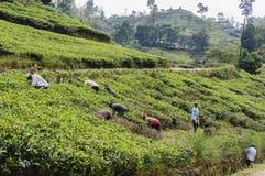 Работники на плантации чая стоковая фотография