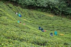 Работники плантации чая в Nuwara Eliya, Шри-Ланка стоковое фото rf