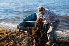 Работники разгржают келп морской водоросли от шлюпки к берегу. стоковые фото