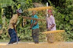 Работники распространили урожай маиса для сушить на оптовом рынке зерна стоковая фотография rf