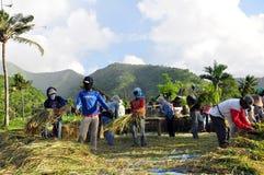 работники риса хлебоуборки Стоковые Фото