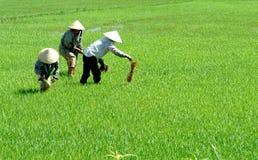работники риса Стоковая Фотография