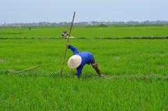 Работники рисовых полей Стоковое Изображение