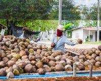Работники сортируют кокос для резать и аранжировать для breedi стоковые изображения rf