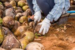 Работники сортируют кокос для резать и аранжировать для breedi стоковое изображение