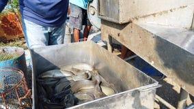 Работники сортируют размер сома в рыбоводческом хозяйстве перед логистическим или переходом для того чтобы выйти на рынок индустр видеоматериал