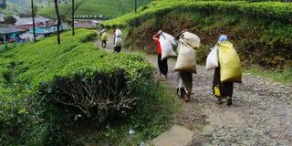Работники, сумка нося листьев чая стоковые изображения rf