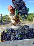 Работник виноградника среди стоковые изображения rf