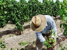 Работник виноградника среди стоковые изображения