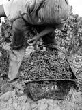 Работник в винограднике стоковая фотография rf