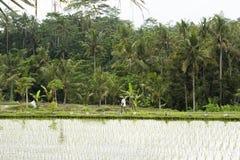 Работник в рисовых полях Стоковые Изображения RF