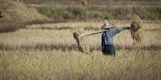 Работник жать в поле риса стоковая фотография rf