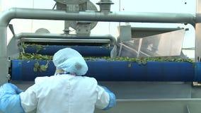 Работник женщины взгляда задней стороны в защитном костюме сортирует arugula видеоматериал