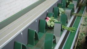 Работник кладет букеты роз на конвейерную ленту внутри помещения сток-видео