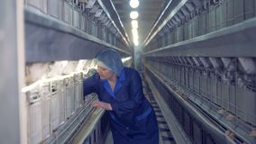Работник курятники кладет цыпленка младенца из клетки и рассматривает его цыплятина фермы цыпленка сток-видео