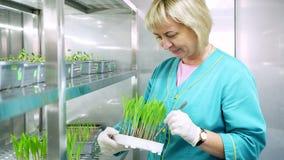 Работник лаборатории рассматривает растущие молодые зеленые ростки в почве, в маленьких коробках, на полках специальной камеры, в видеоматериал