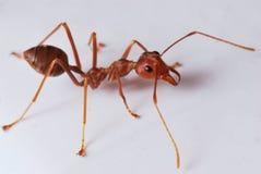 работник муравея Стоковая Фотография RF