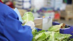 Работник очищает голову китайского салата сток-видео