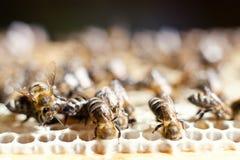 работник пчел стоковое фото