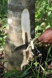 Работник режа корни Aquilaria которые получили заразил от грибкового или бактериального стоковые фотографии rf
