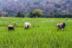 Работник рисовых полей стоковые фото