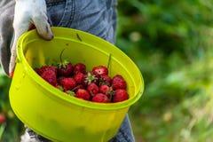 """Работник сада \ """"рука s в перчатках сада держа зеленый шар вполне красных зрелых клубник стоковое фото rf"""