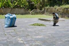 Работник собирая высушенные листья коки в большом мешке на коке выходит депо в Chulumani Стоковая Фотография
