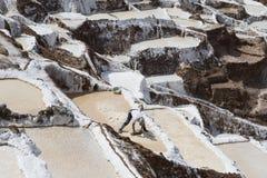 Работник собирая соль на прудах соли Maras расположенных на долине ` s Перу священной Стоковые Фотографии RF