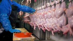 Работник фабрики проверяет внутренние туши цыпленка для органов видеоматериал