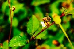 работник specie mellifera пчелы apis Стоковые Изображения RF