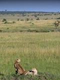 равнины гепардов лежа стоковая фотография rf