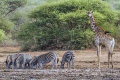 Равнины зебра и жираф в национальном парке Kruger, Южной Африке Стоковое фото RF