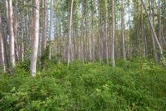Равномерные зеленые деревья Стоковая Фотография