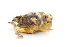 2 Canaries Стоковые Фото