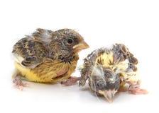 Славные Canaries Стоковые Изображения RF