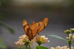 2 драгоценных оранжевых бабочки рябчика залива в природе Стоковое Фото
