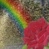 радуга подняла Стоковые Изображения