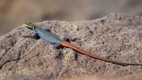 Радуга покрасила ящерицу Sekukhune плоскую на утесе сток-видео
