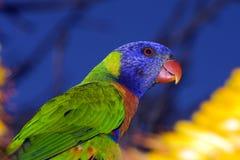 радуга попыгая lorikeet Австралии Стоковое Фото