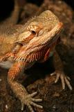 радуга ящерицы Стоковые Фотографии RF