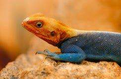 радуга ящерицы Стоковые Фото
