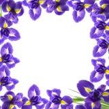 радужка красивейших цветков свежая Стоковые Изображения RF