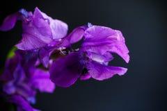 Радужка пурпура цветка Стоковая Фотография