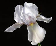 радужка цветка стоковое изображение