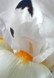радужка цветка Стоковая Фотография RF
