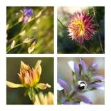 радужка цветков георгинов Стоковые Изображения RF