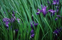 радужка цветков Стоковое фото RF