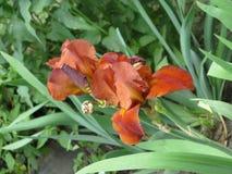 радужки сада Стоковая Фотография RF