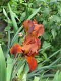 радужки сада Стоковое Фото