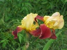 радужки сада Стоковые Изображения RF